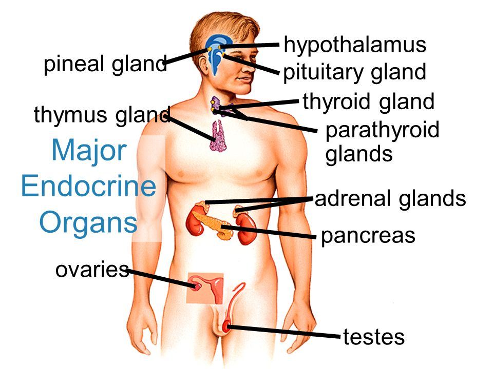 The Endocrine System Major Endocrine Organs Pineal Gland