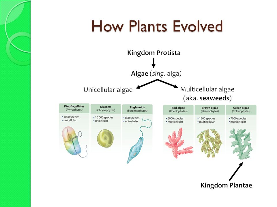 The Venus Flytrap Kingdom Plantae The Kingdom Plantae Ppt Download