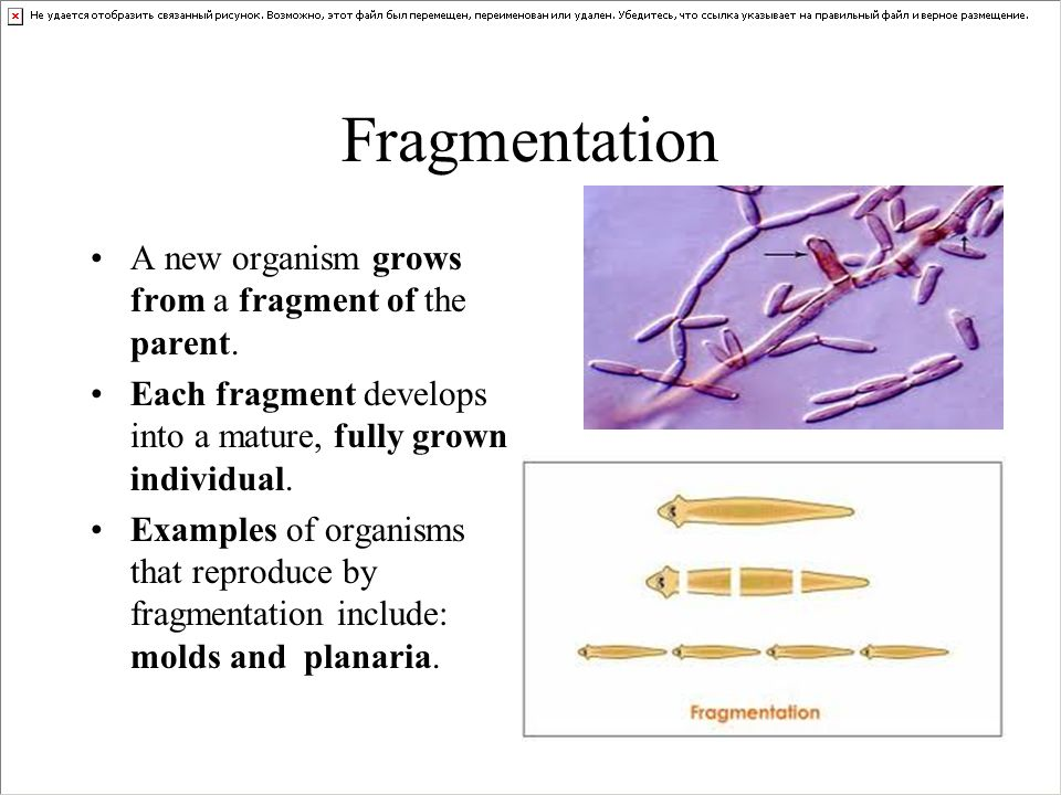 What reproduces by fragmentation asexual reproduction