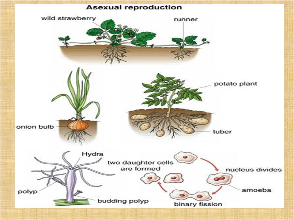Do potatoes reproduce by budding asexual reproduction
