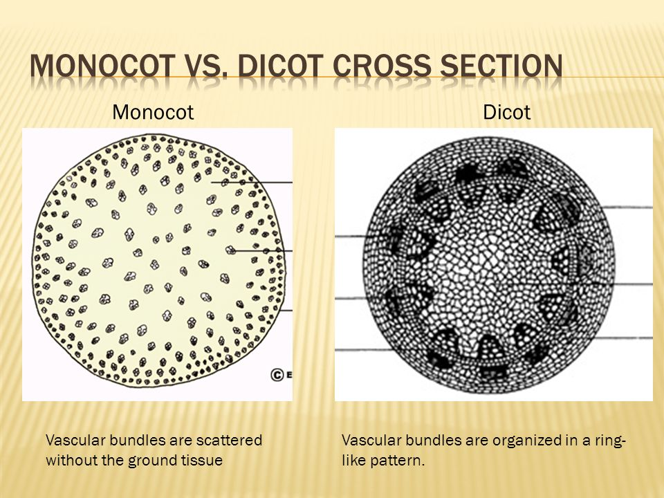 MonocotDicot Vascular bundles are scattered without the ground tissue Vascular bundles are organized in a ring- like pattern.