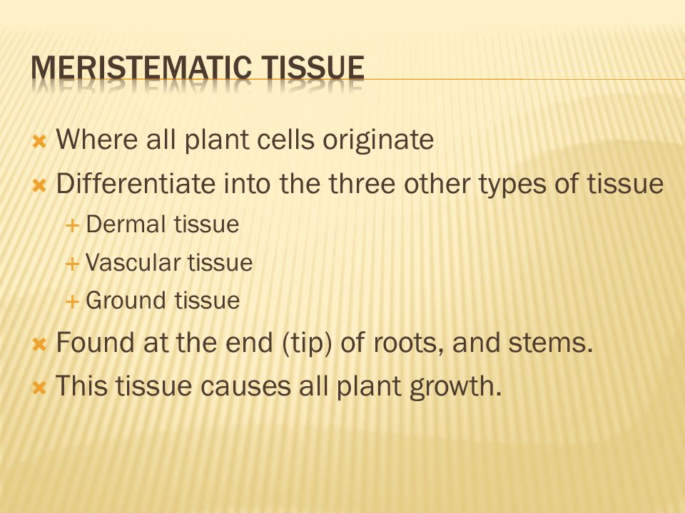  Where all plant cells originate  Differentiate into the three other types of tissue  Dermal tissue  Vascular tissue  Ground tissue  Found at the end (tip) of roots, and stems.