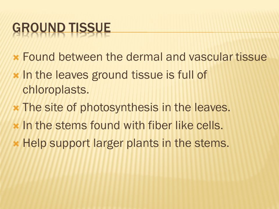  Found between the dermal and vascular tissue  In the leaves ground tissue is full of chloroplasts.