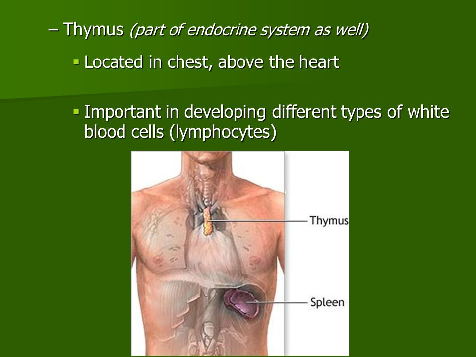 –Thymus (part of endocrine system as well)  Located in chest, above the heart  Important in developing different types of white blood cells (lymphocytes)