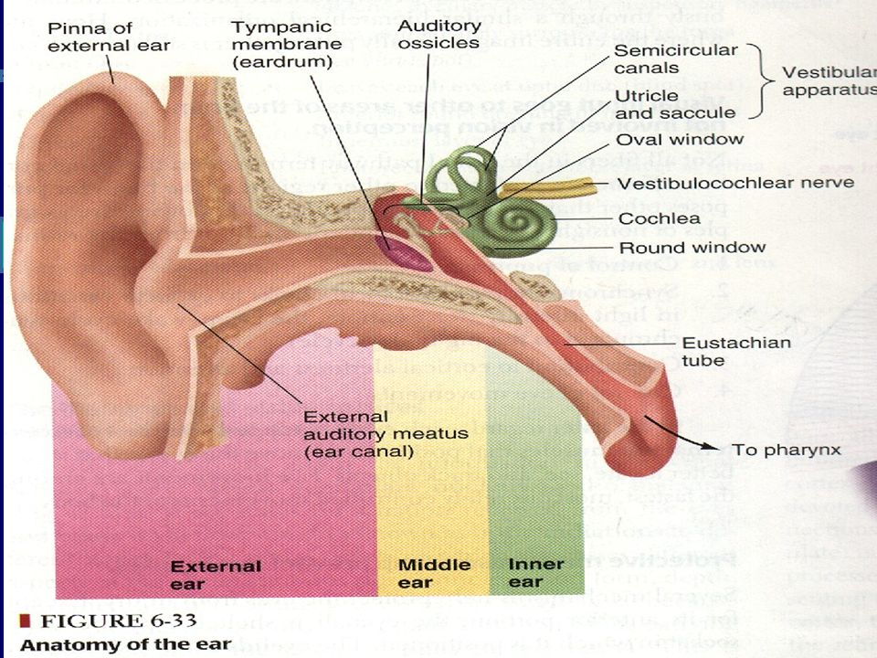 Hearing. Functions of the ear Hearing (Parts involved): External ear ...