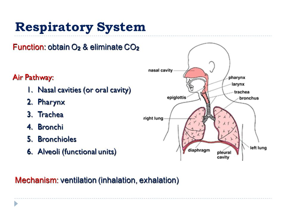 Radiographic Physiology Respiratory System 1me The Organs Of The