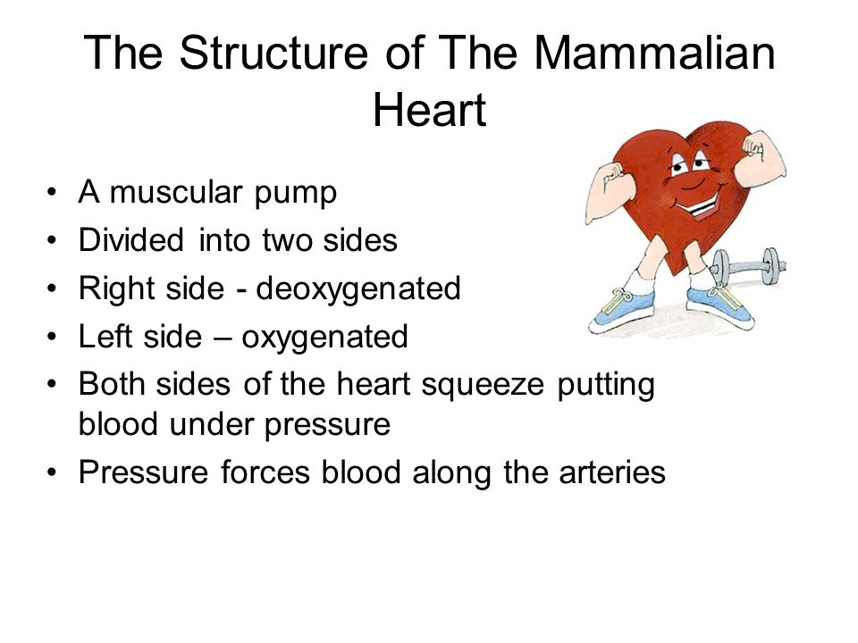 The structure of the mammalian heart a muscular pump divided into 1 the structure of the mammalian ccuart Choice Image