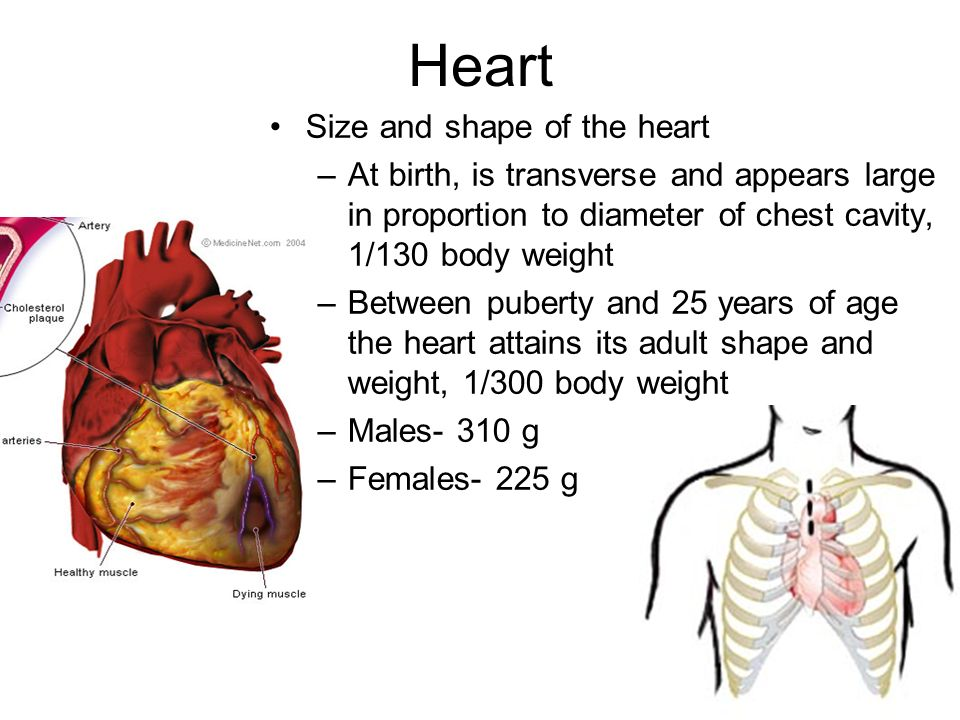 1 Chapter 18 Anatomy Of The Cardiovascular System Ppt Download
