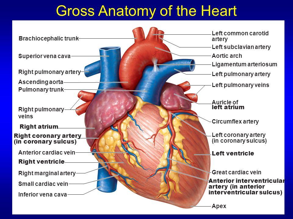 THE HEART Ch 19 Human Anatomy Sonya Schuh-Huerta, Ph.D. Leonardo Da ...