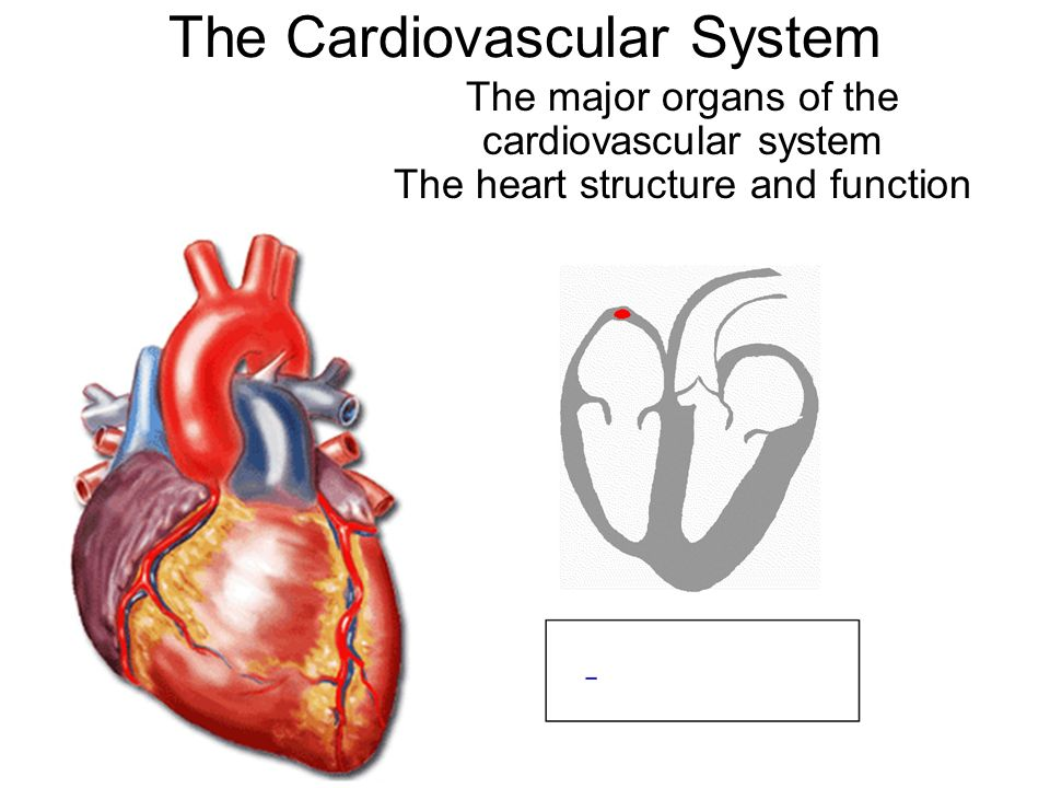 The Cardiovascular System The major organs of the cardiovascular ...