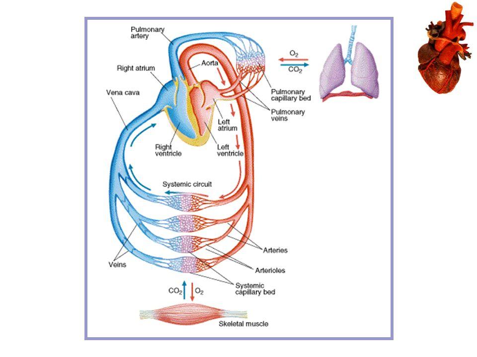 Kinesiology Cardiovascular Anatomy And Function Major