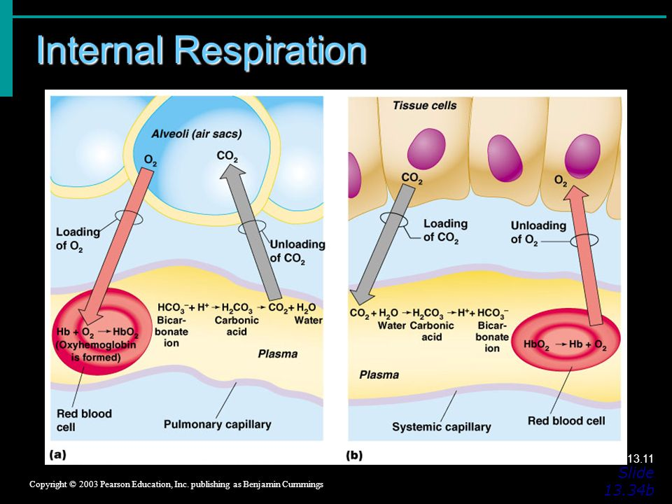 Internal Respiration Slide 13.34b Copyright © 2003 Pearson Education, Inc.