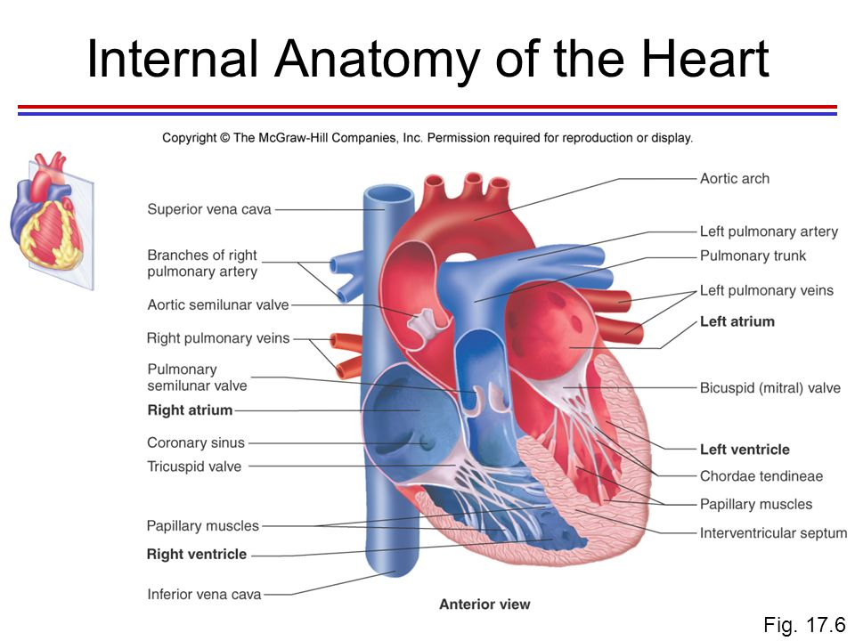 Diagram Of The Internal Anatomy Of The Heart - Circuit Connection ...