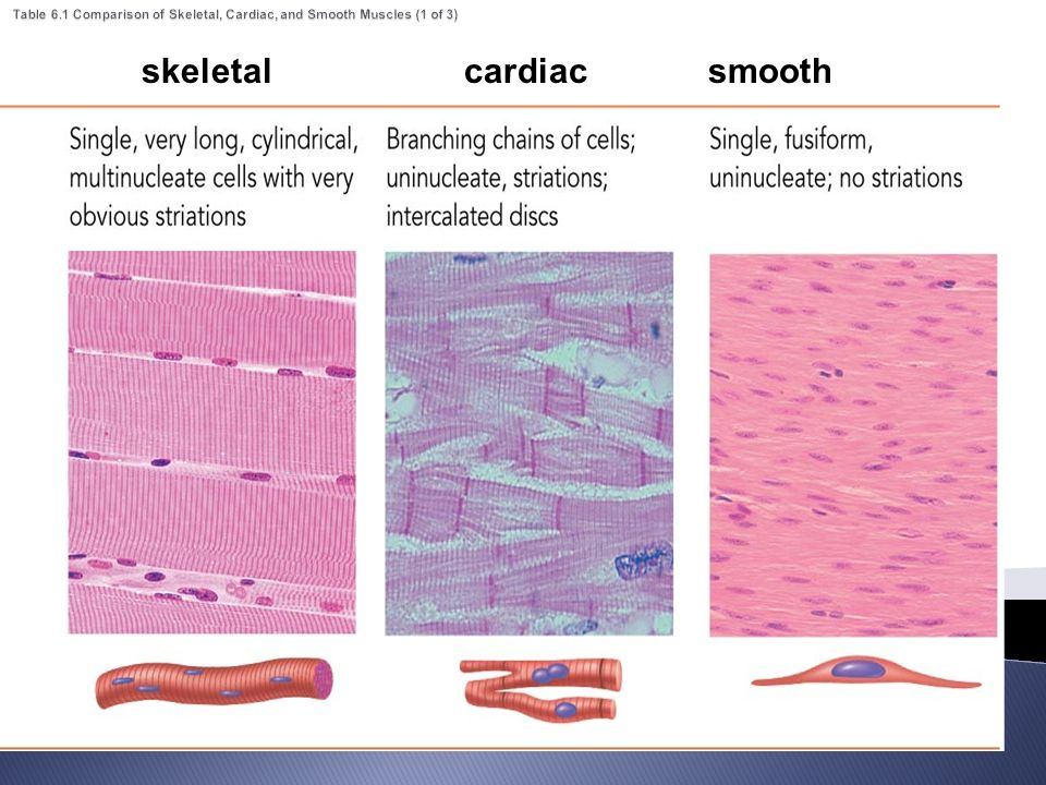 compare and contrast cardiac and skeletal muscle Muscular system 1 compare and contrast skeletal smooth and cardiac muscle from biology general bi at bedford high.