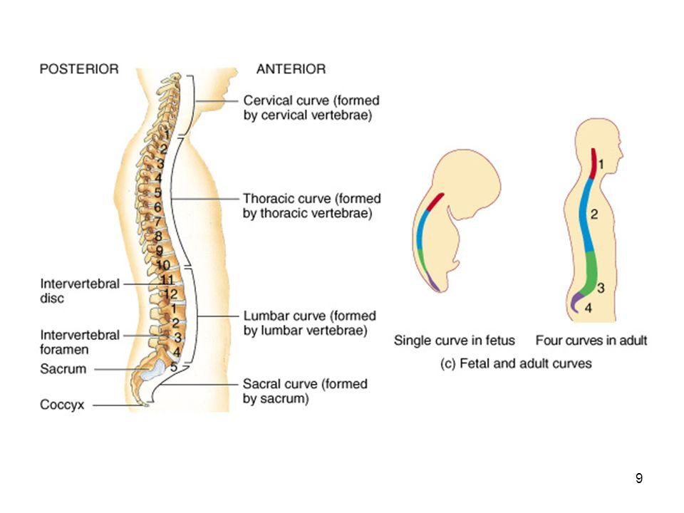 Bony Anatomy Of The Vertebral Column Ppt Download