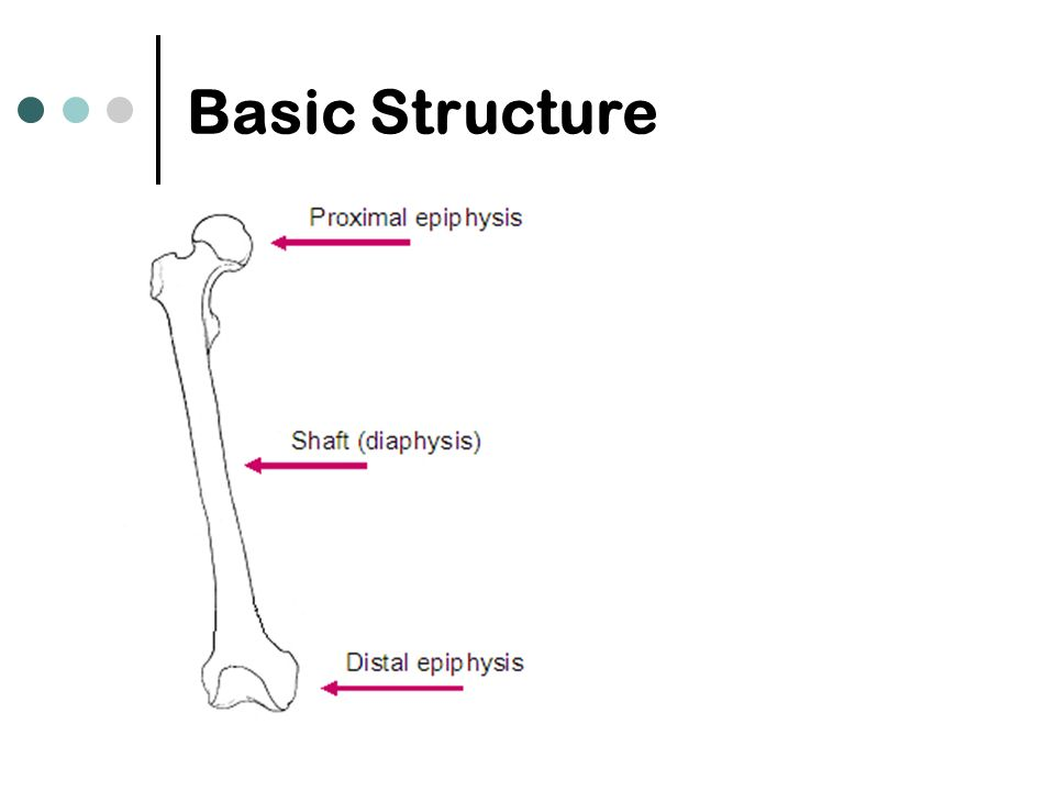 Gross Anatomy  Long Bone. Basic Structure Superior view ...