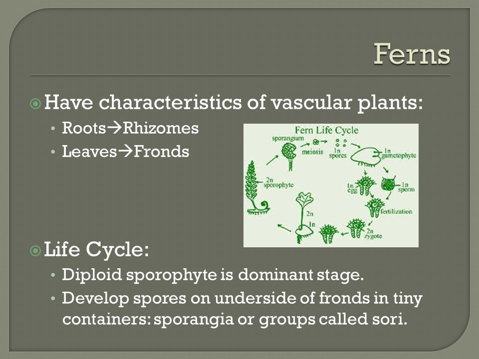  Have characteristics of vascular plants: Roots  Rhizomes Leaves  Fronds  Life Cycle: Diploid sporophyte is dominant stage.