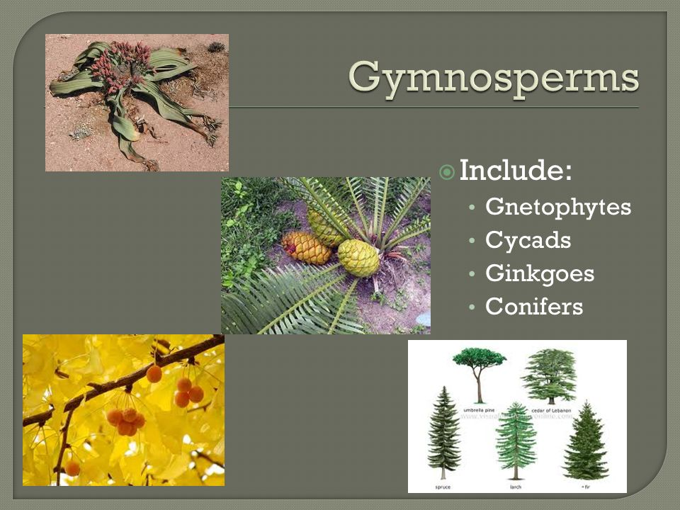  Include: Gnetophytes Cycads Ginkgoes Conifers