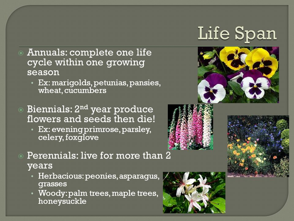  Annuals: complete one life cycle within one growing season Ex: marigolds, petunias, pansies, wheat, cucumbers  Biennials: 2 nd year produce flowers and seeds then die.