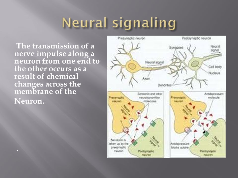 The transmission of a nerve impulse along a neuron from one end to the other occurs as a result of chemical changes across the membrane of the Neuron..