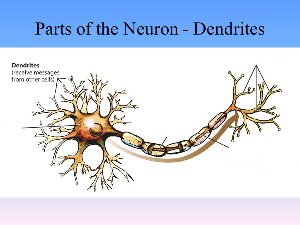 Parts of the Neuron - Dendrites