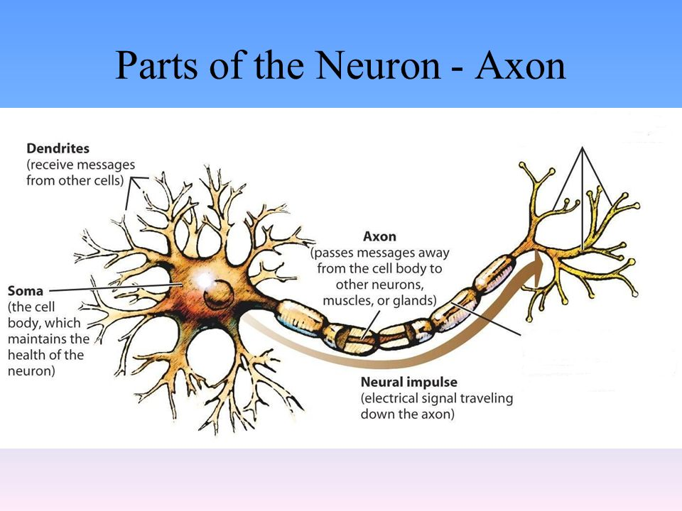 Parts of the Neuron - Axon