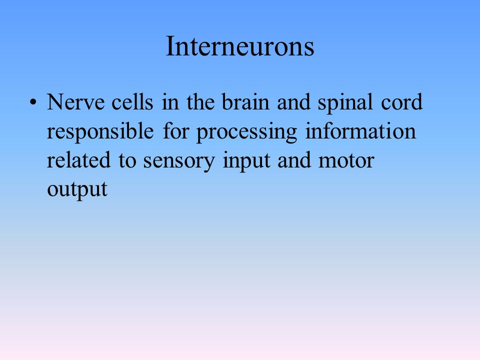 Interneurons Nerve cells in the brain and spinal cord responsible for processing information related to sensory input and motor output