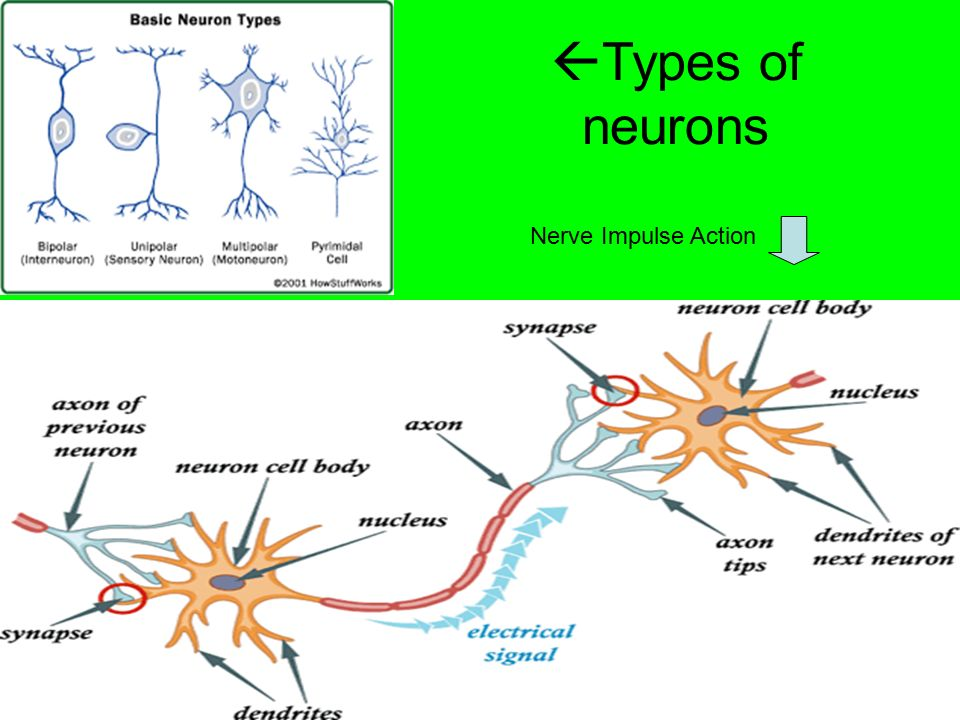  Types of neurons Nerve Impulse Action