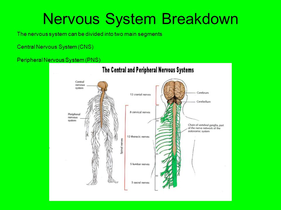 Nervous System Breakdown The nervous system can be divided into two main segments Central Nervous System (CNS) Peripheral Nervous System (PNS)
