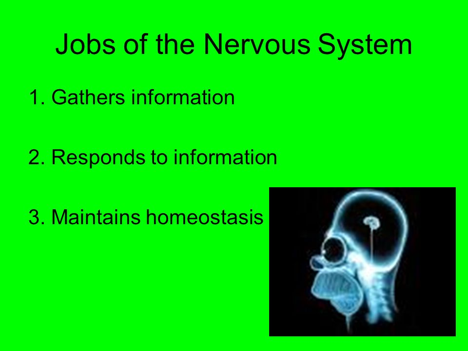 Jobs of the Nervous System 1. Gathers information 2.