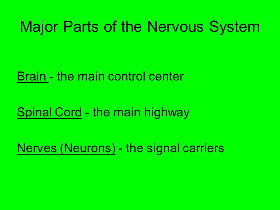 Major Parts of the Nervous System Brain - the main control center Spinal Cord - the main highway Nerves (Neurons) - the signal carriers
