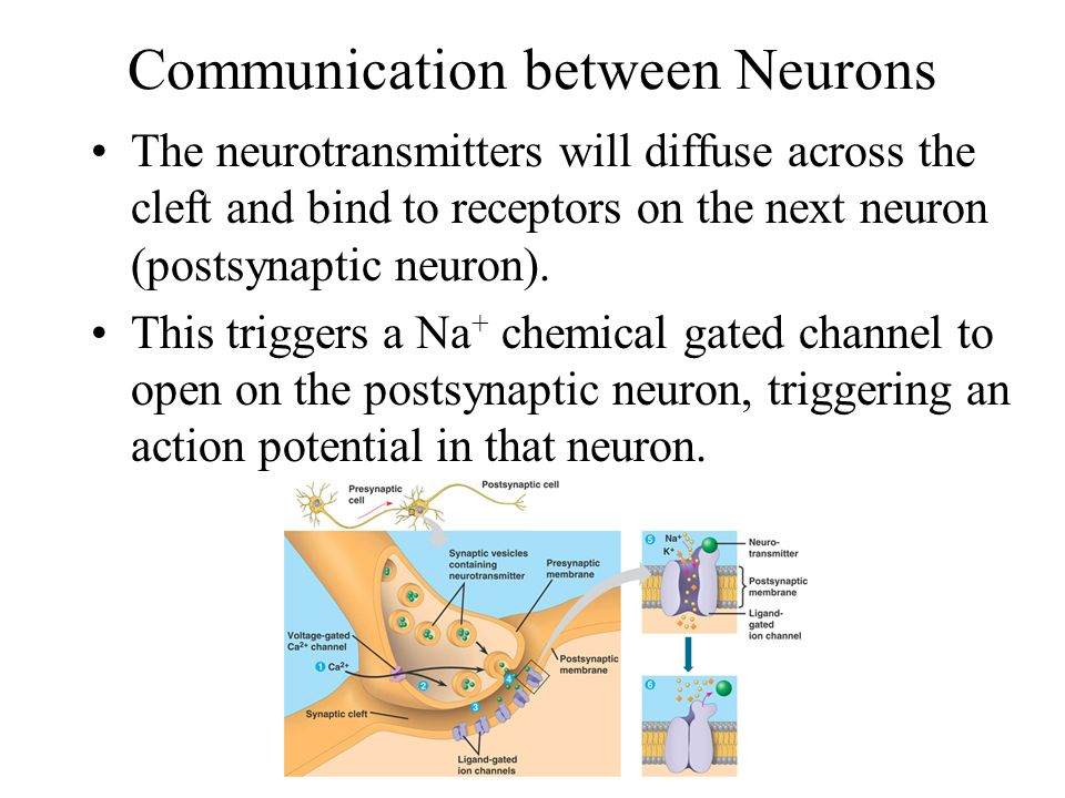 Communication between Neurons When the signal reaches the axon terminal, it triggers voltage gated Ca 2+ channels to open.