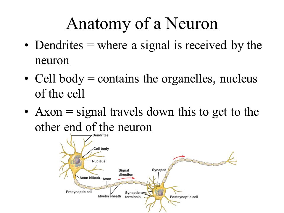Branches of the Nervous System There are 2 main branches of the nervous system Central Nervous System –Brain –Spinal Cord Peripheral Nervous System –All nerves leading to rest of body
