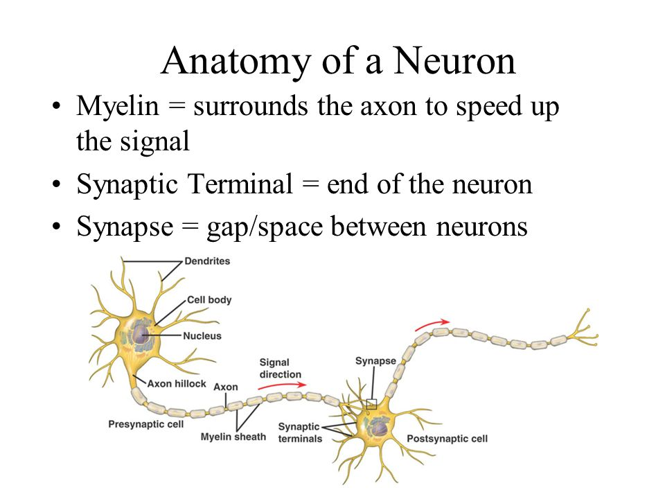 Anatomy of a Neuron Dendrites = where a signal is received by the neuron Cell body = contains the organelles, nucleus of the cell Axon = signal travels down this to get to the other end of the neuron