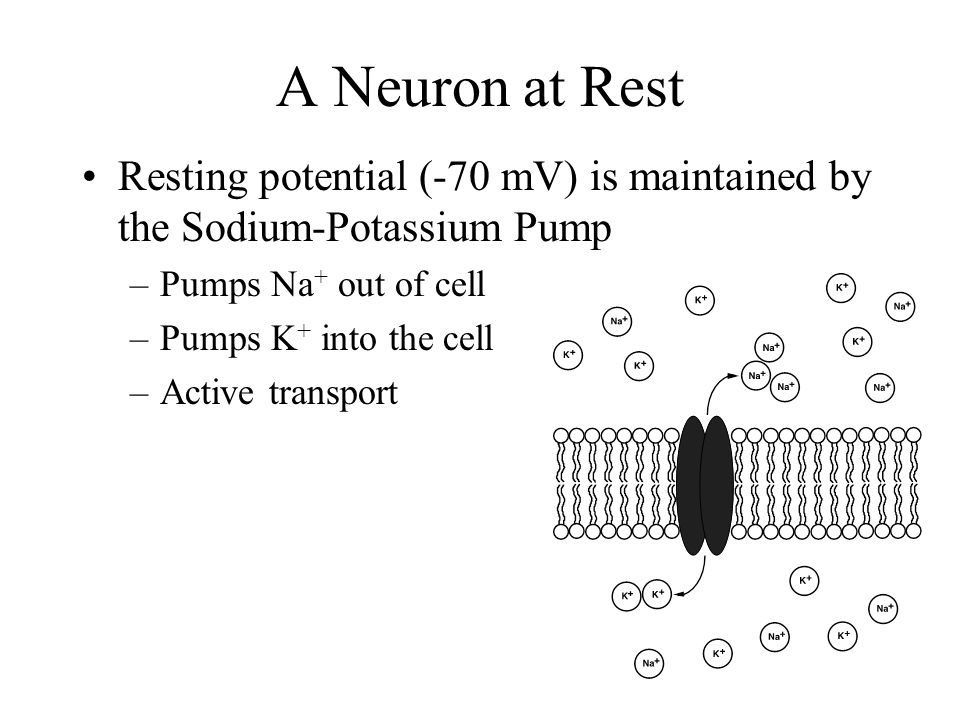 A Neuron at Rest A neuron at rest (unstimulated) has a difference in charge (voltage) across the plasma membrane = -70 mV = resting potential –This means that it is more negative inside than outside The resting potential is caused by the distribution of ions on either side of the membrane