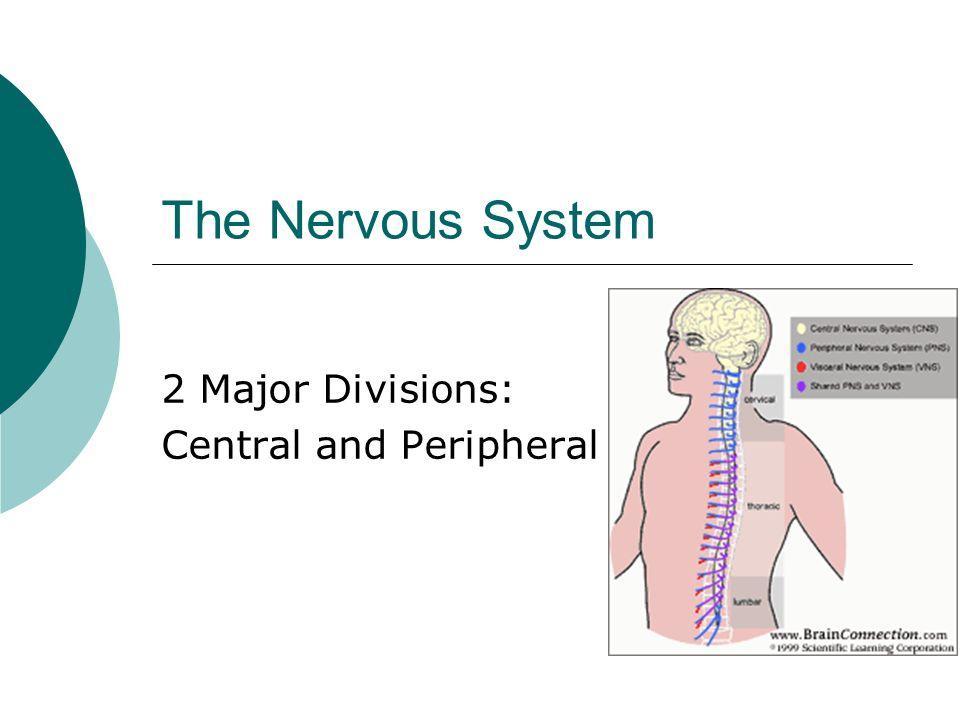 The Nervous System 2 Major Divisions: Central and Peripheral