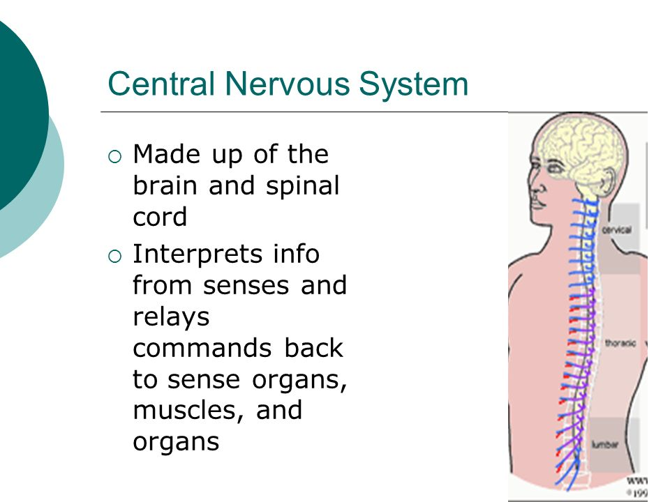 Central Nervous System  Made up of the brain and spinal cord  Interprets info from senses and relays commands back to sense organs, muscles, and organs