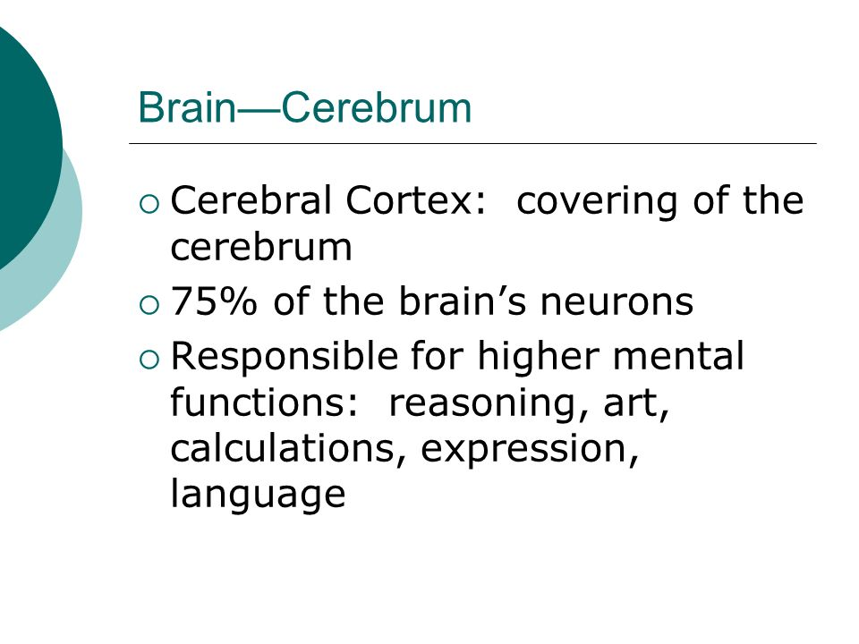 Brain—Cerebrum  Cerebral Cortex: covering of the cerebrum  75% of the brain's neurons  Responsible for higher mental functions: reasoning, art, calculations, expression, language