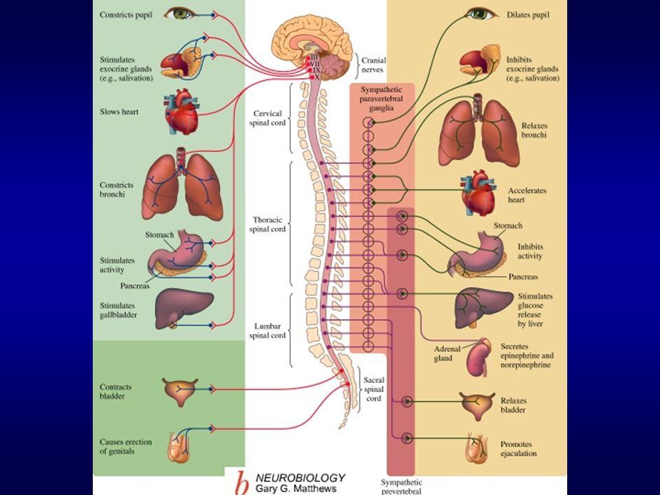 AUTONOMIC NERVOUS SYSTEM Parasympathetic Nervous System Sympathetic ...