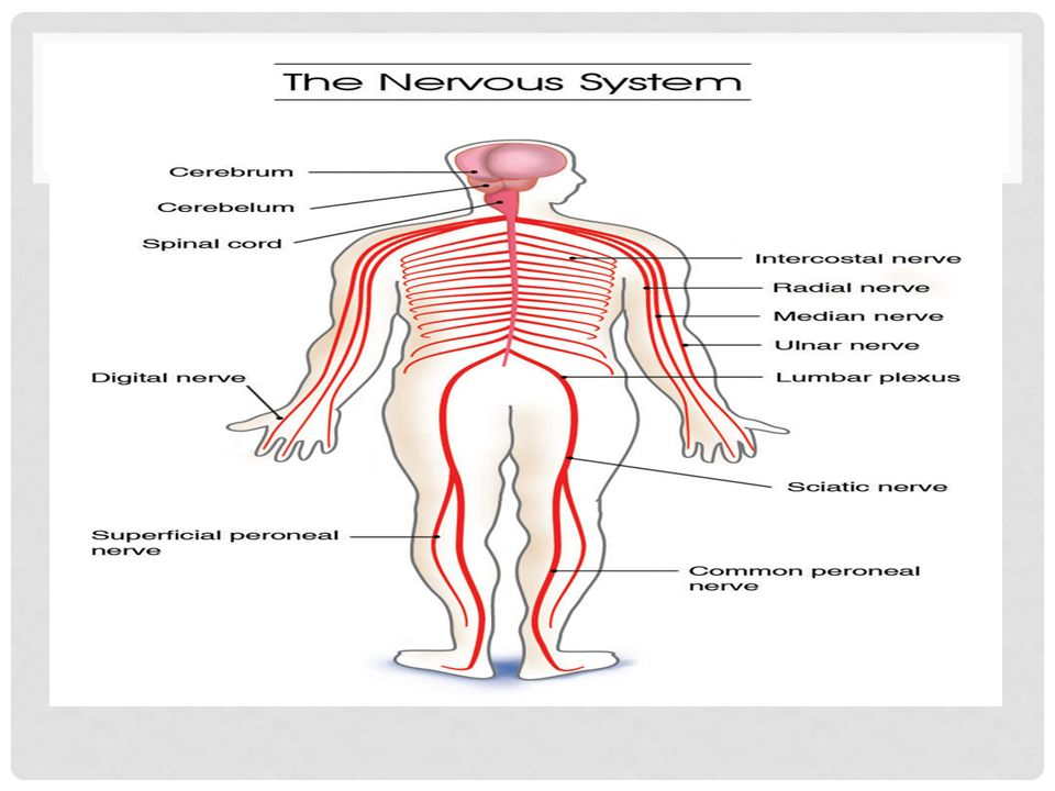 By Ernesto H And Chris I Nervous System Humans Organs Of The
