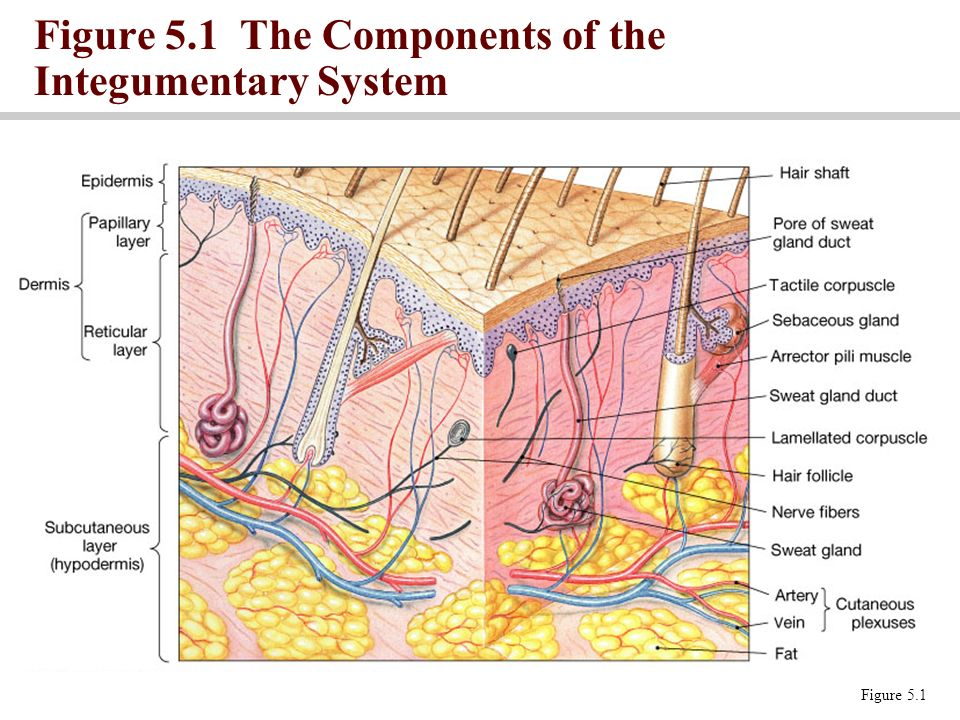 The Integumentary System Learning Objectives List The Components Of