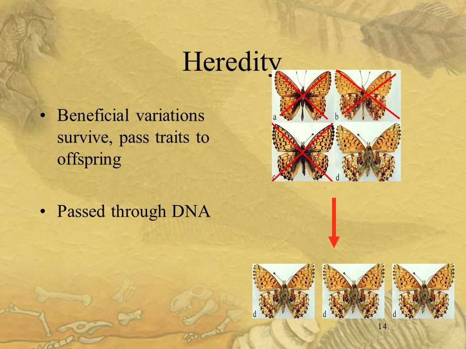 14 Heredity Beneficial variations survive, pass traits to offspring Passed through DNA