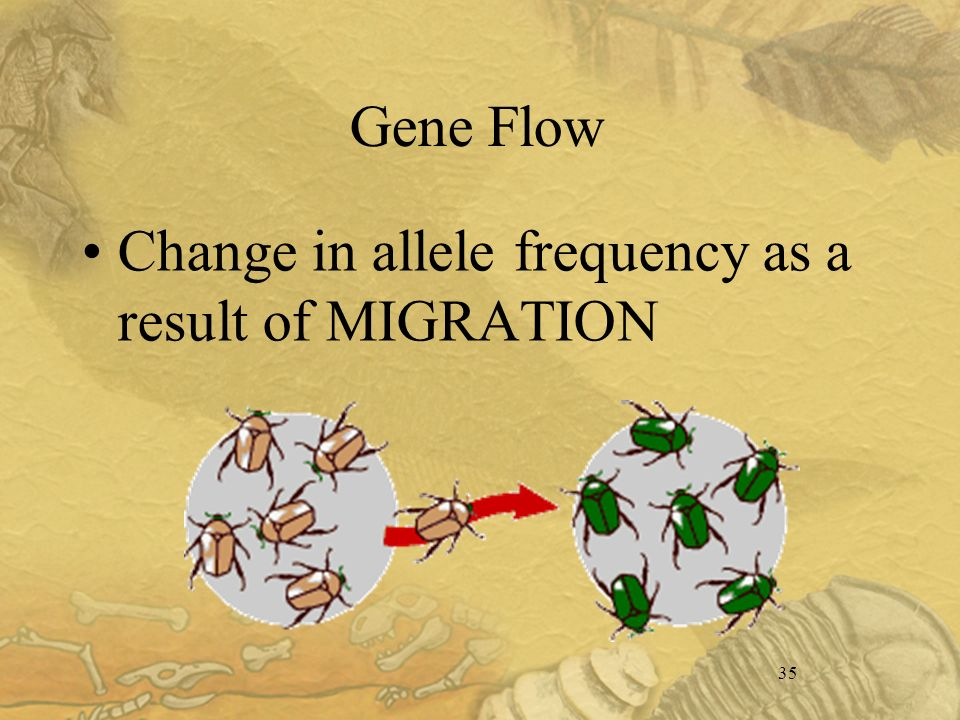 35 Gene Flow Change in allele frequency as a result of MIGRATION