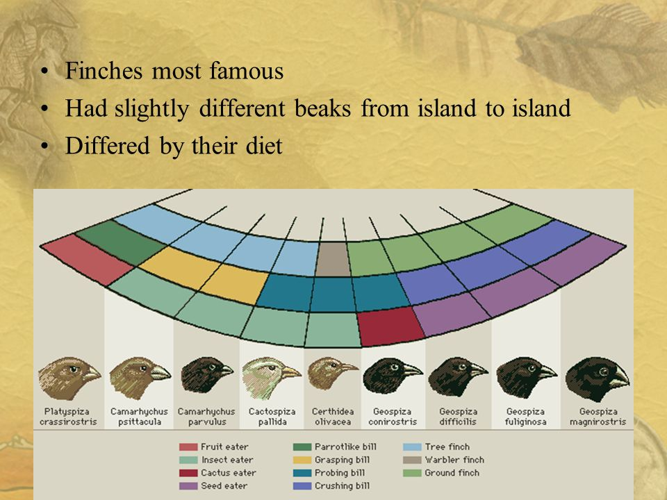 9 Finches most famous Had slightly different beaks from island to island Differed by their diet