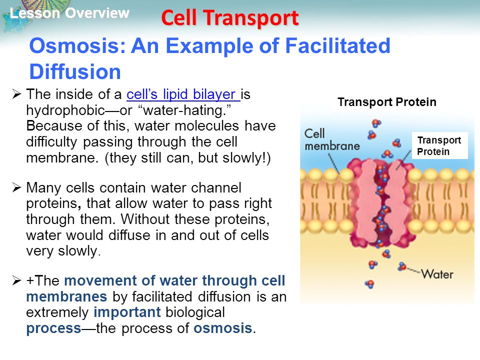 Lesson Overview Lesson Overview Cell Transport Osmosis: An Example of Facilitated Diffusion  The inside of a cell's lipid bilayer is hydrophobic—or water-hating. Because of this, water molecules have difficulty passing through the cell membrane.