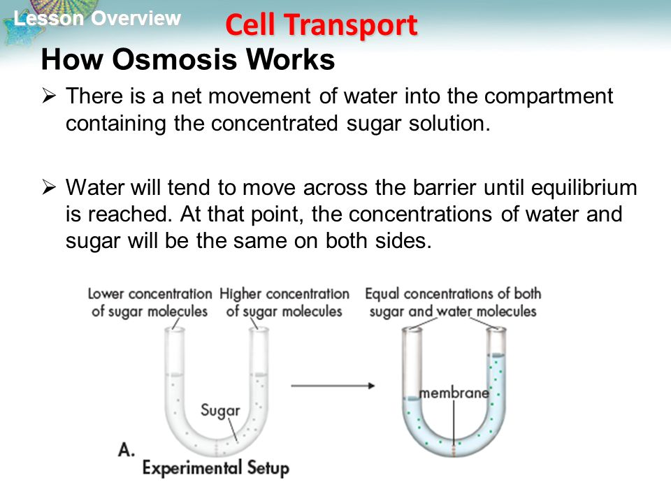 Lesson Overview Lesson Overview Cell Transport How Osmosis Works  There is a net movement of water into the compartment containing the concentrated sugar solution.