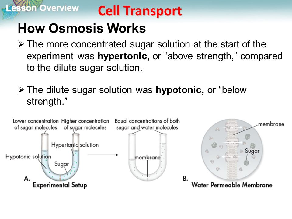 Lesson Overview Lesson Overview Cell Transport How Osmosis Works  The more concentrated sugar solution at the start of the experiment was hypertonic, or above strength, compared to the dilute sugar solution.