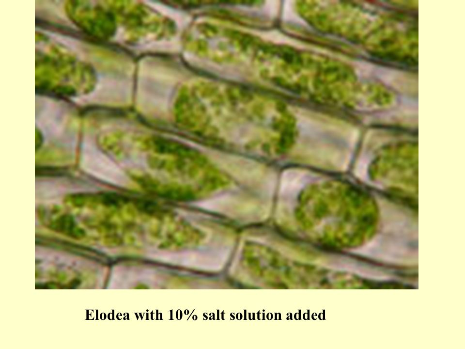 Diagram Of Elodea In Salt Solution Application Wiring Diagram