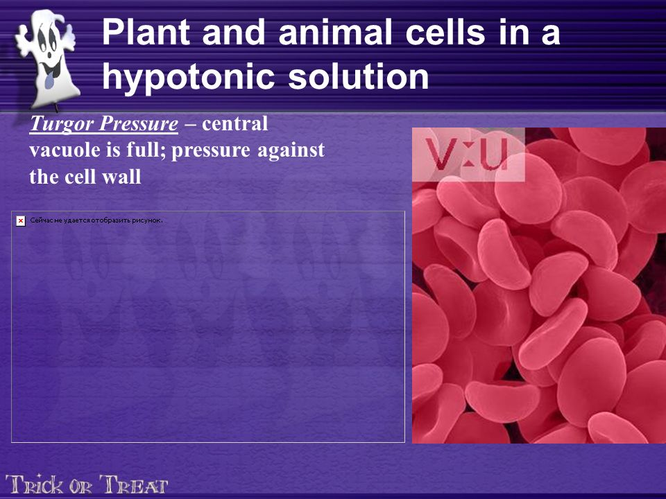 Plant and animal cells in a hypotonic solution Turgor Pressure – central vacuole is full; pressure against the cell wall