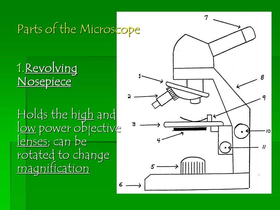 Science 7 lt unit 3 classification and introduce microscopes 15 parts of the microscope 1volving nosepiece holds the high and low power objective lenses can be rotated to change magnification ccuart Choice Image